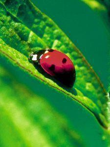 Afbeelding van Animal Essences Ladybug (Lieveheersbeestje) (30ml)
