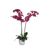Afbeelding vanPhalaenopsis paars in pot tusca wit d14,5 cm h100xd53 Mica Decorations