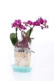Afbeelding vanHome of Orchids Orchidee Easter Purple Princess in pot