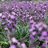 Image ofBowles' Perennial Wallflower