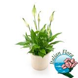 """Εικόνα του""""pianta di spathiphyllum Consegna in Italia."""""""